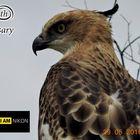 Changeable Hawk Eagle. (Spizaetus cirrhatus).