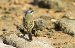 Charaktervögel der Costa de Luz (3.)