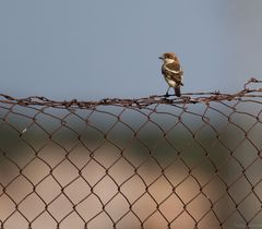 Charaktervögel der Costa de Luz (5.)