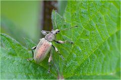 Charançon (Phyllobius urticae) 3