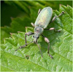 Charançon (Phyllobius urticae)