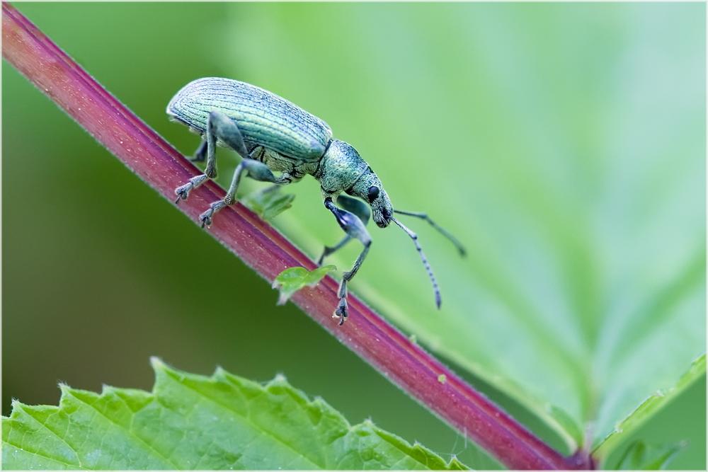 Charançon, Phyllobius urticae