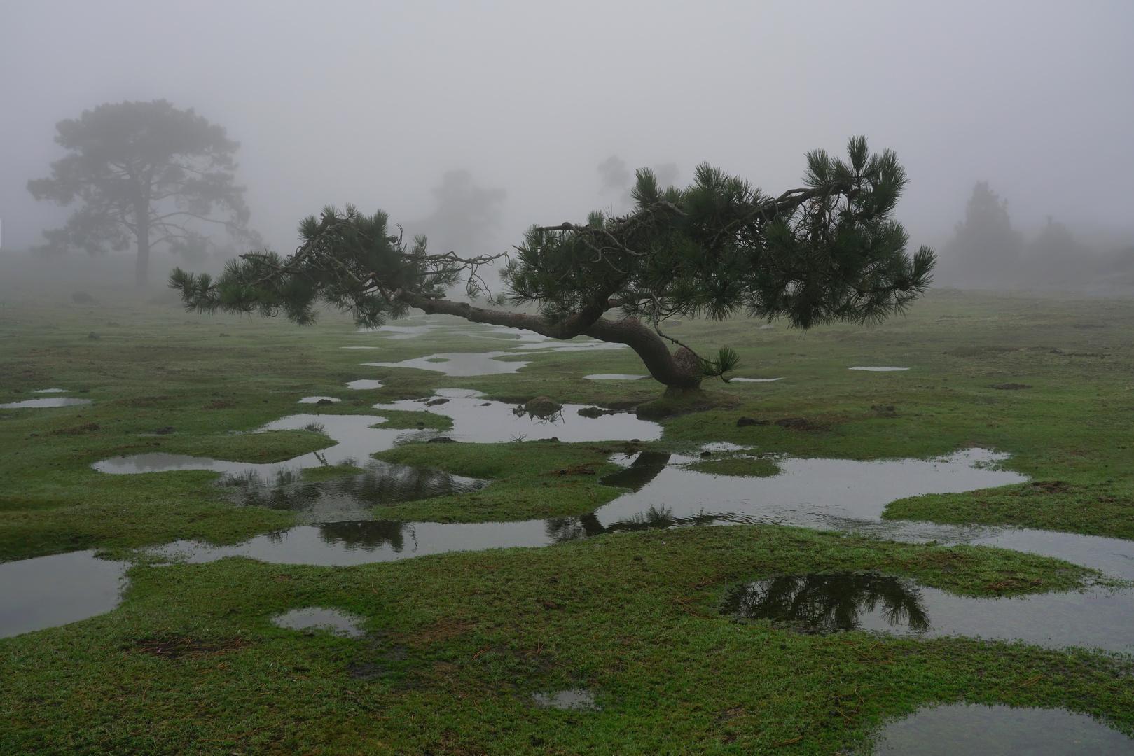 charco y árbol, A Groba (Pontevedra)