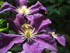 Chargée de pollen