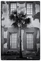 Charleston Palmetto Tree