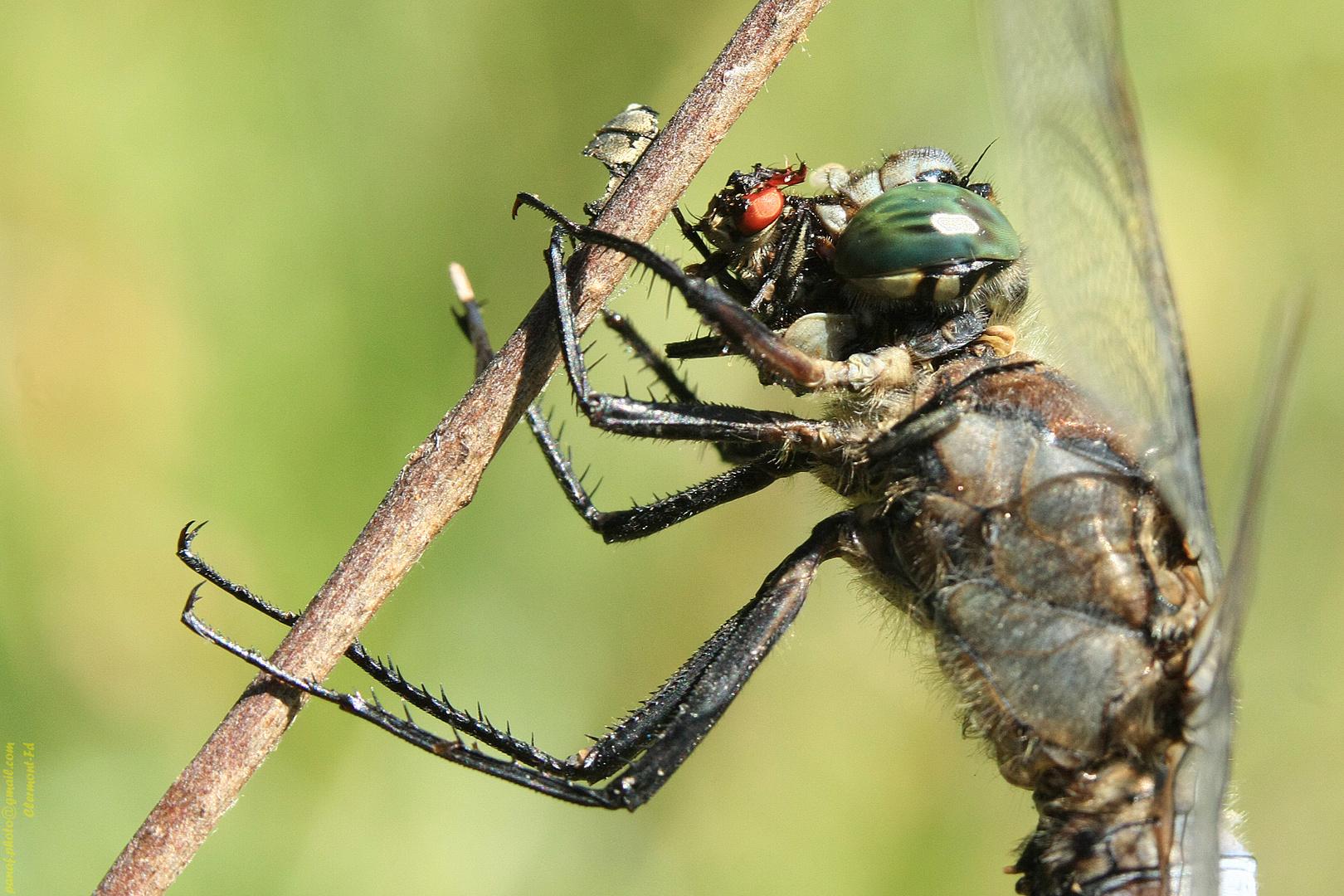 Chasse de la libellule à... la mouche