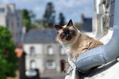 Chat de gouttière