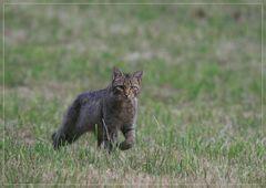 chat forestier en approche