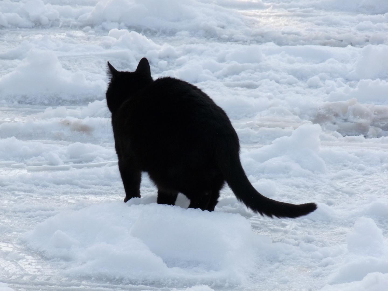Chat noir sur neige blanche