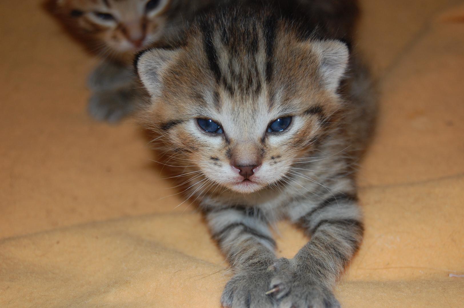 Chaton tigre