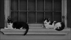 """chats blancs et noirs en"""" noir et blanc...."""""""