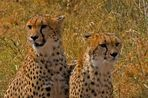 cheetah beauties