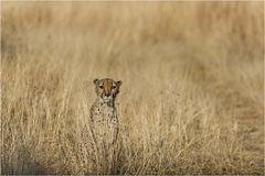 *Cheetah*