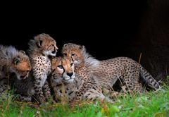 Cheetah Familie