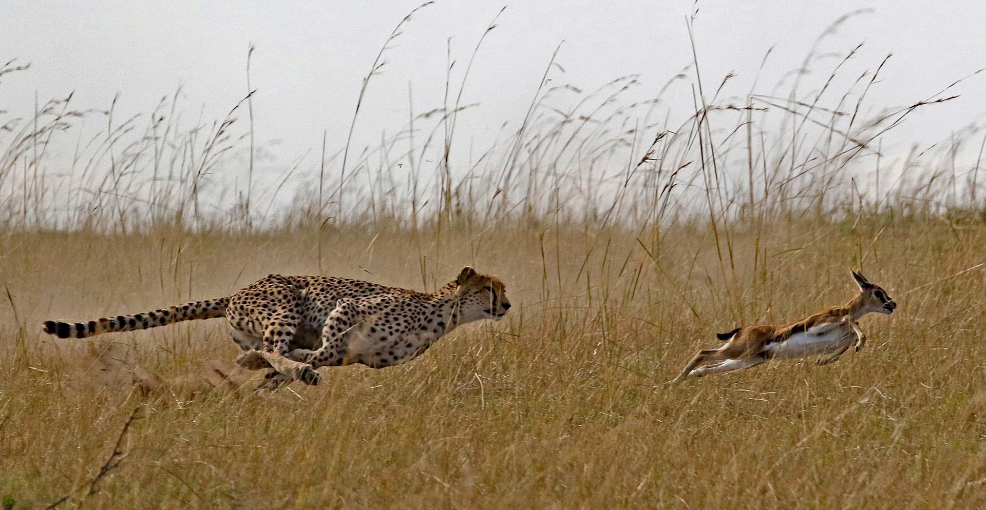 Cheetah hunting Gazelle