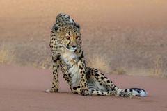 Cheetah I