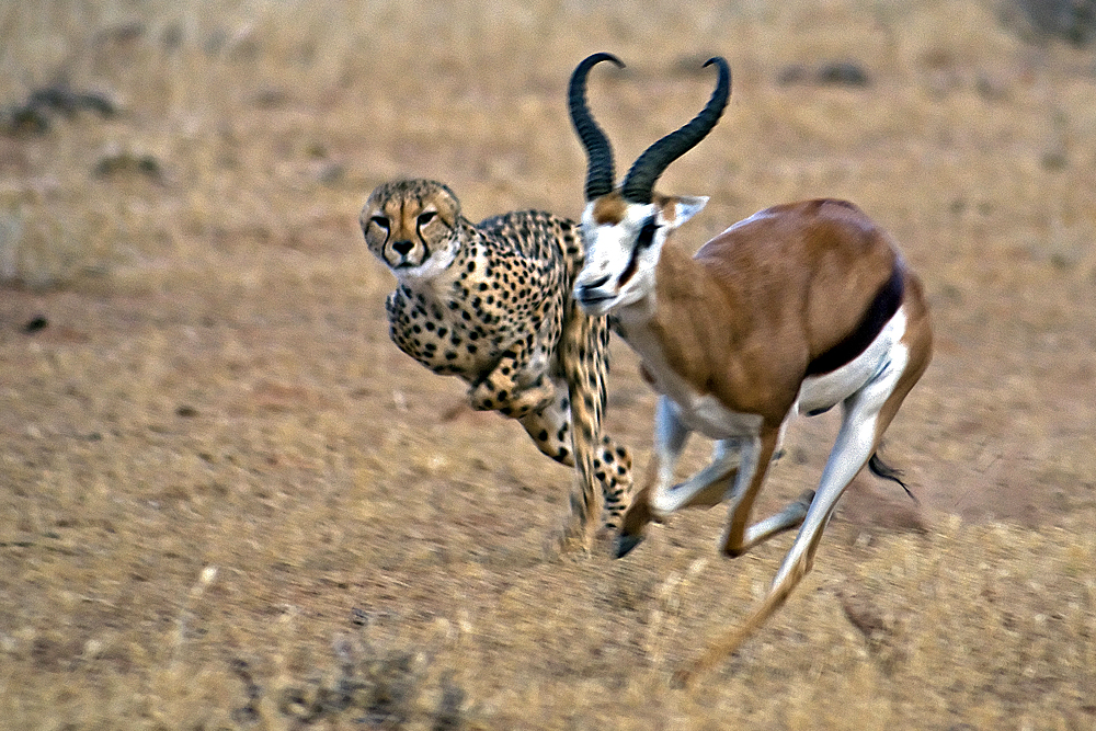 Cheetah Jagd