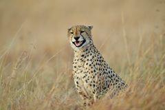 Cheetah ruft die vier Brüder