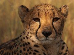 Cheetah Spot(light)