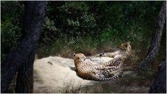 Cheetah's Siesta