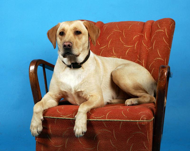 Chef Hund