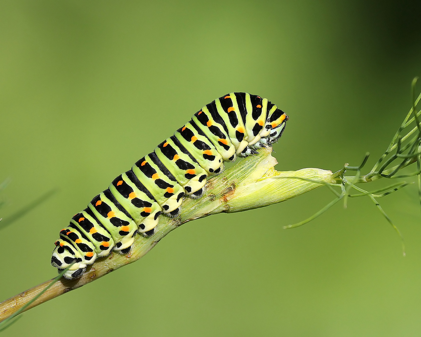 Chenille du Papilio machaon