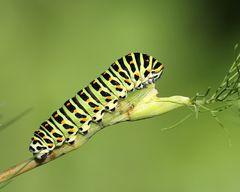 Chenille du Papilio machaon