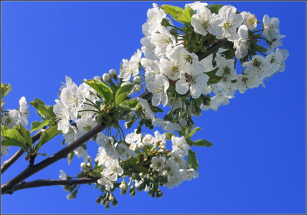 Cherrie tree blossom