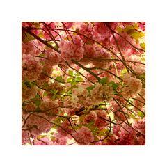 . Cherry Blossom .