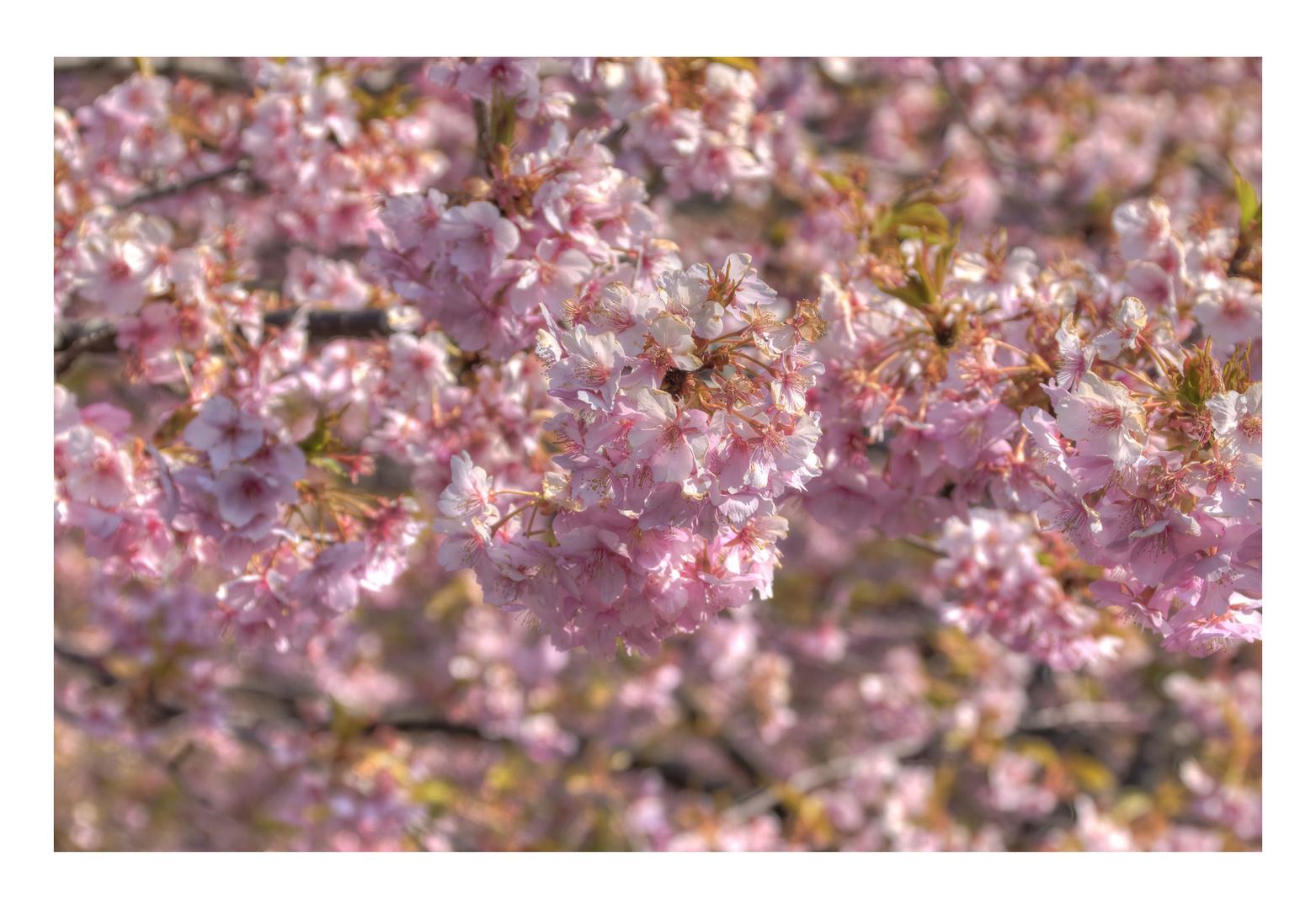 Cherry Blossoms 2016-1