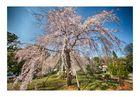 Cherry Blossoms 2016-10