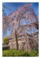 Cherry Blossoms 2016-11
