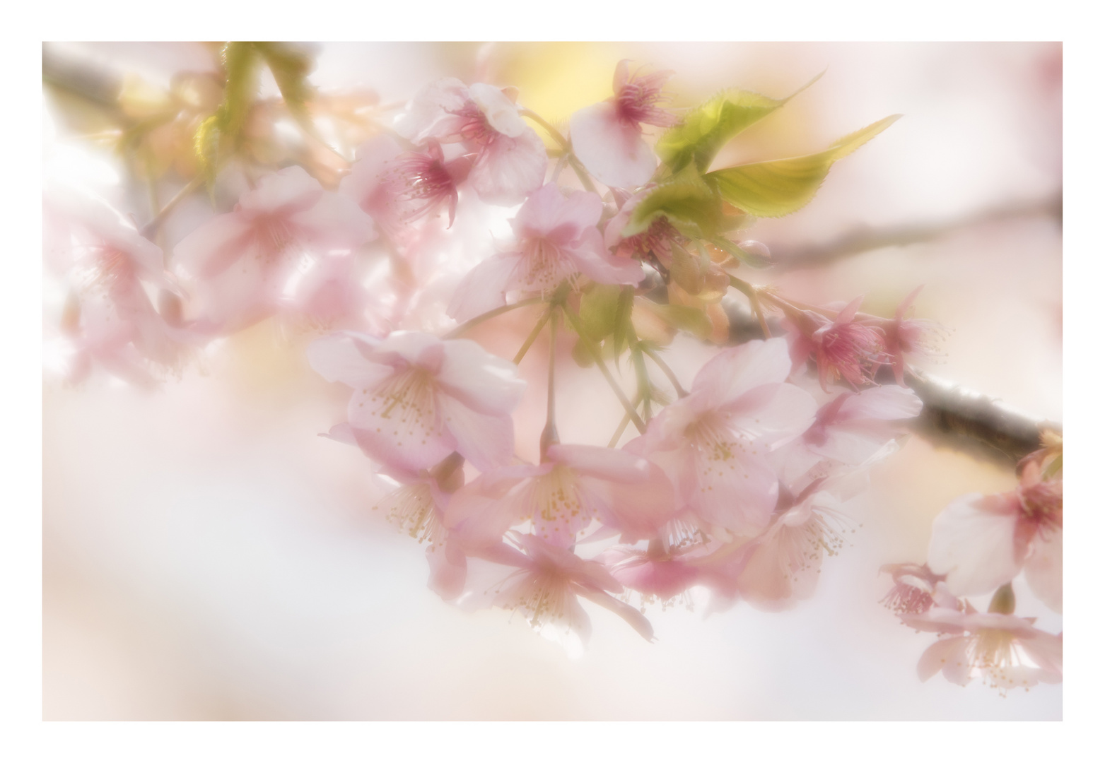 Cherry Blossoms 2016-3