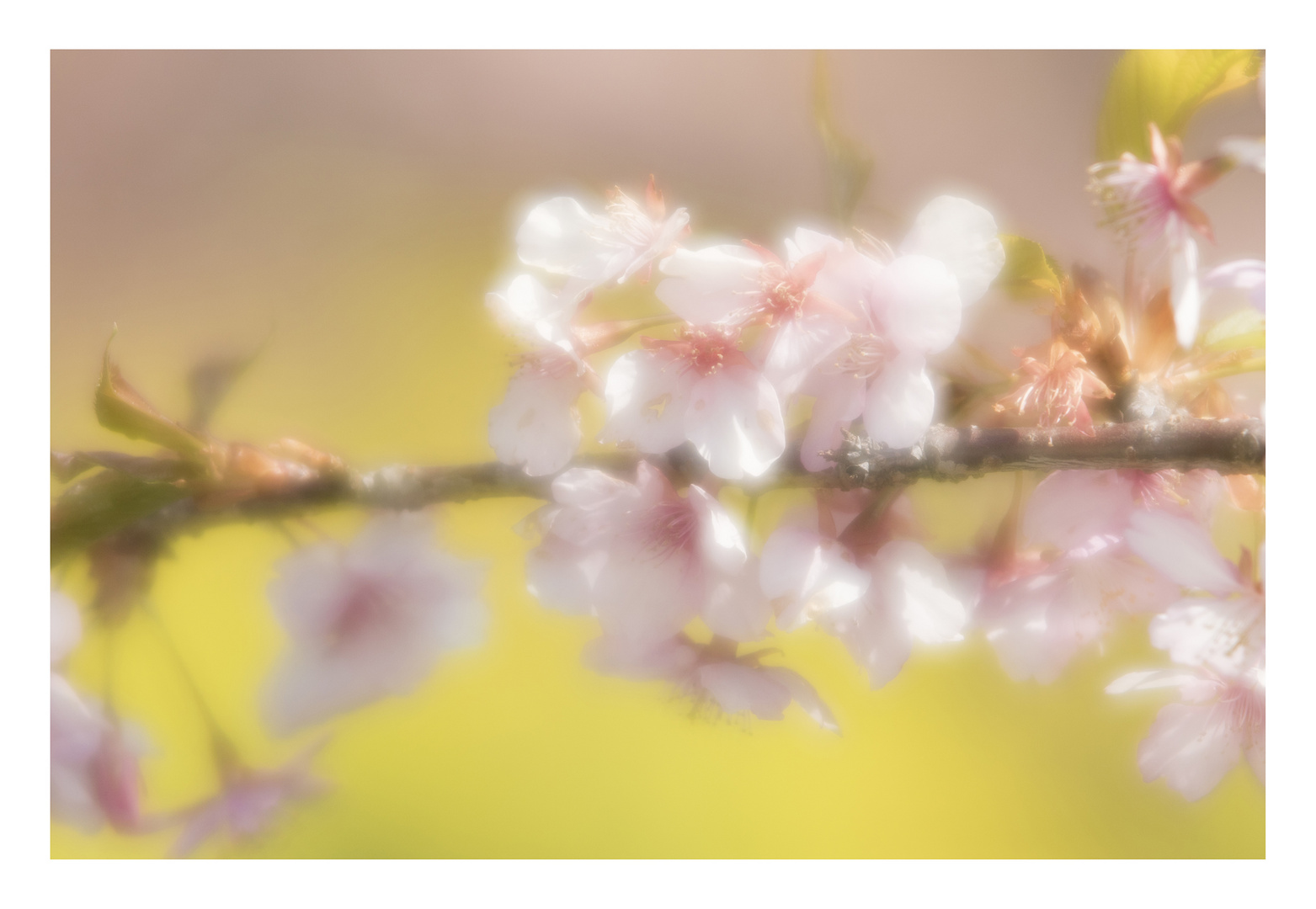 Cherry Blossoms 2016-4