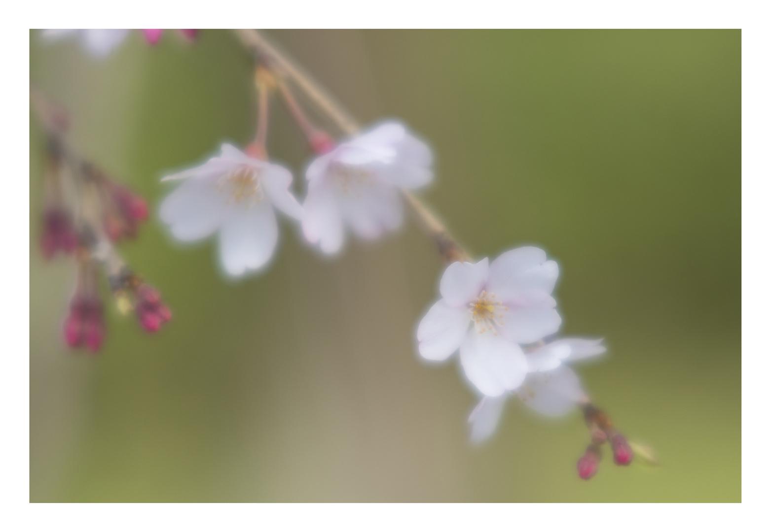 Cherry Blossoms 2016-6