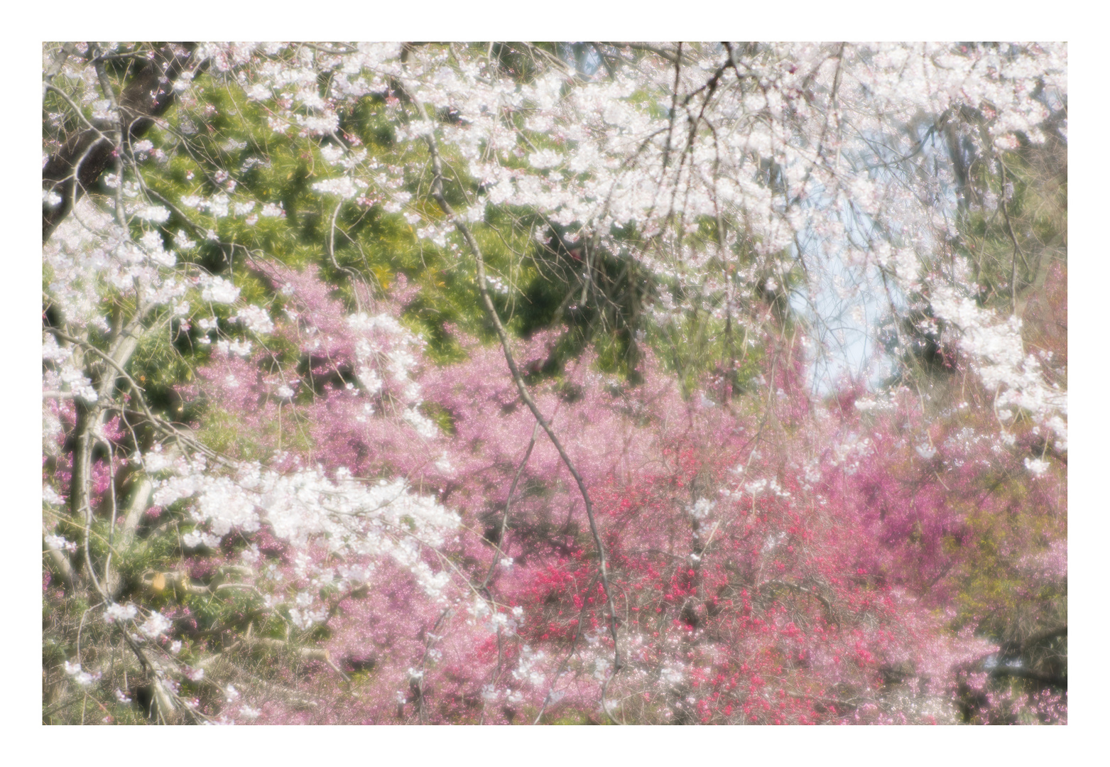 Cherry Blossoms 2016-7