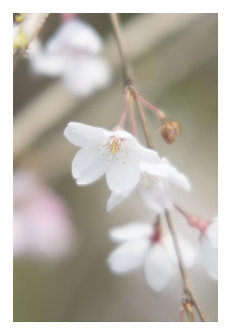 Cherry Blossoms 2016-7