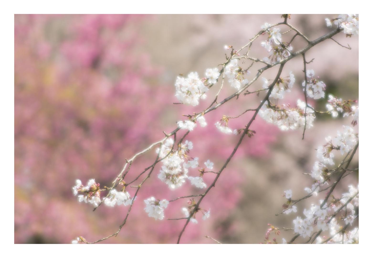 Cherry Blossoms 2016-8