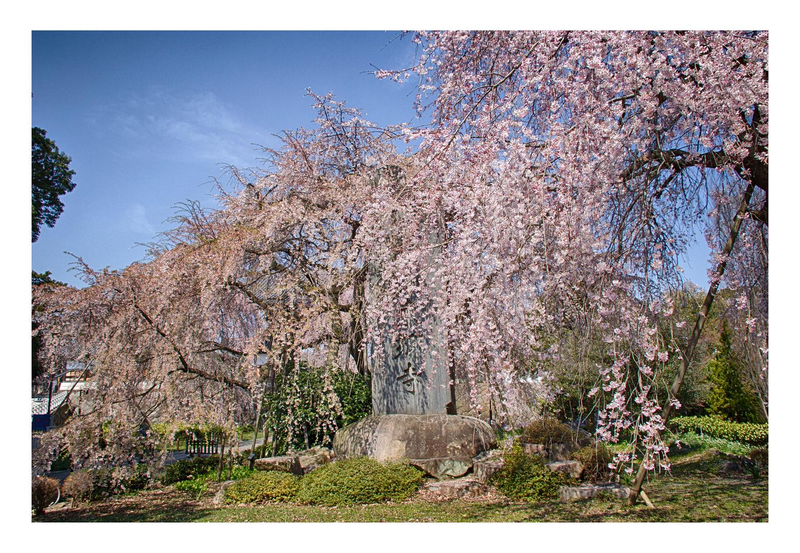 Cherry Blossoms 2016-9