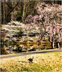 Cherry Blossoms along Lake Caroline - A Meadowlark Impression