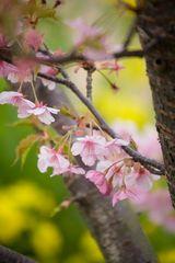 cherry blossoms in kawazu izu-2