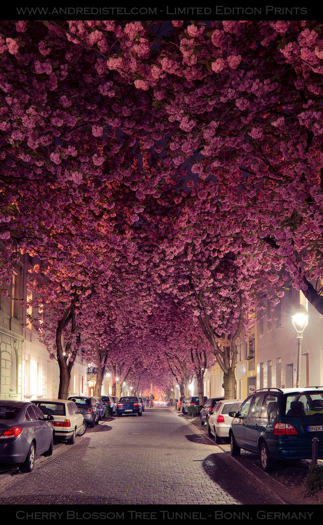 Cherry Blossoms - Kirschblühte Bonn