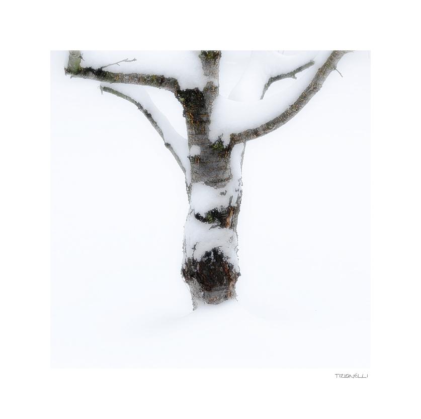 cherry in the snow