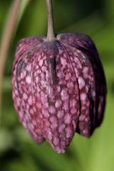 Chess flower (Fritillaria meleagris)