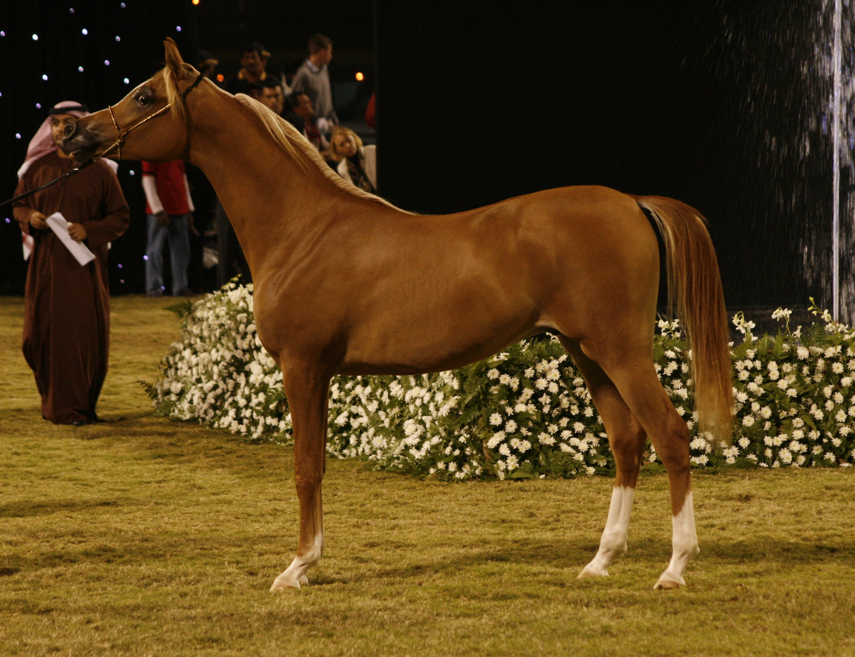Chestnut Arabian Horse photo & image   sports, horse sport ... - photo#40