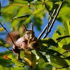 Chestnut hunter