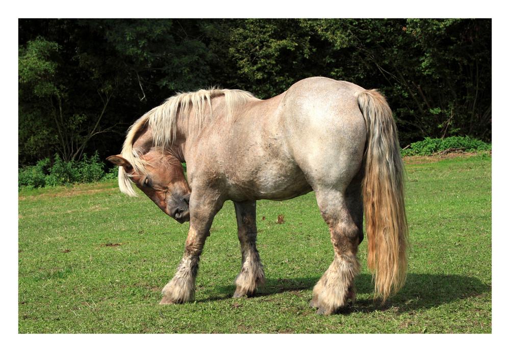 cheval de trait espagnol