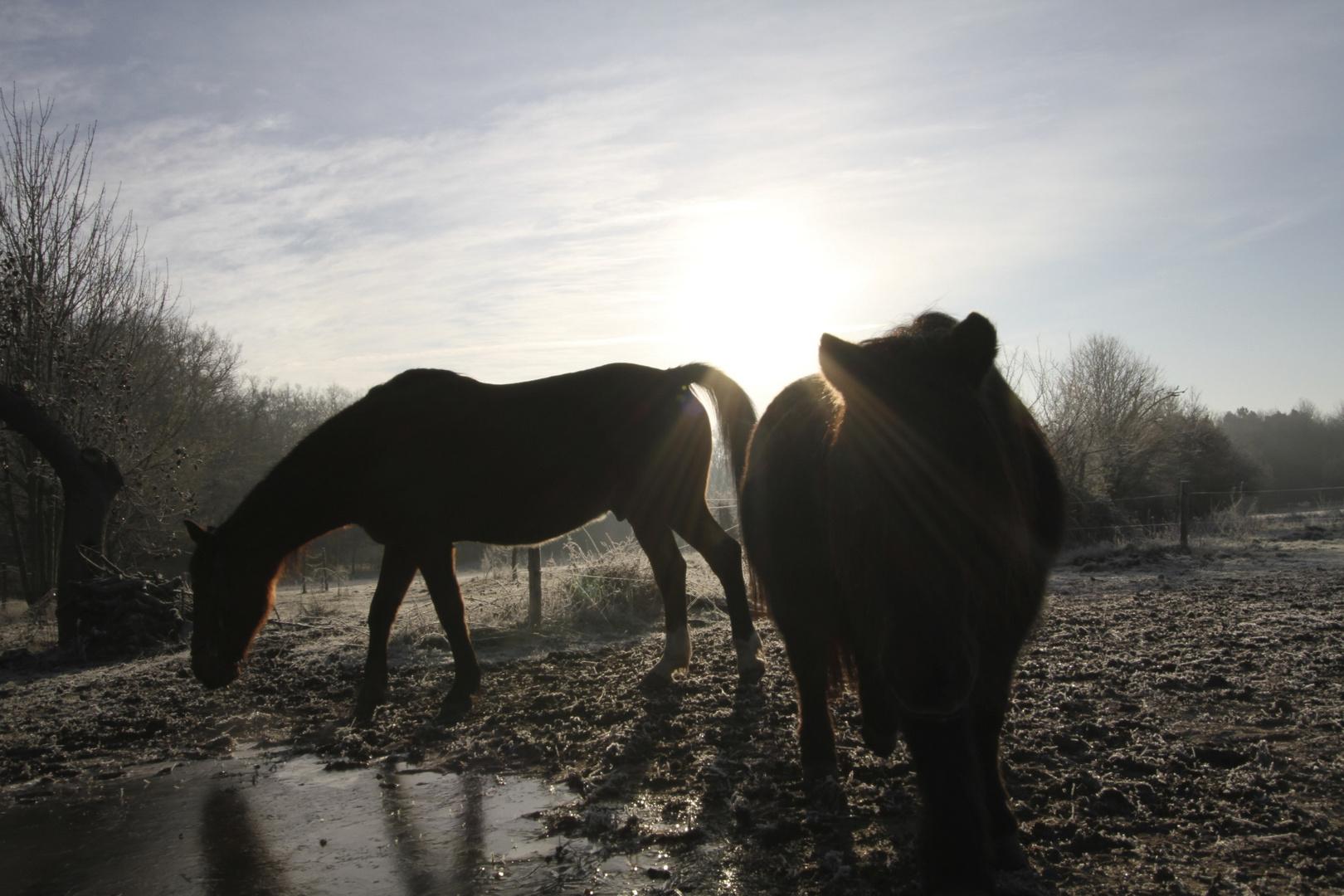 chevaux à contre jour