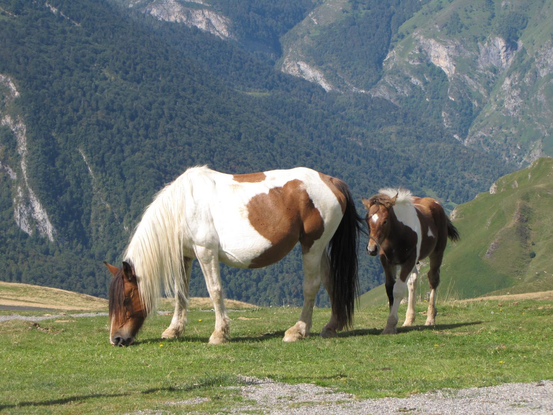 chevaux en liberté au col de l'Aubisque.