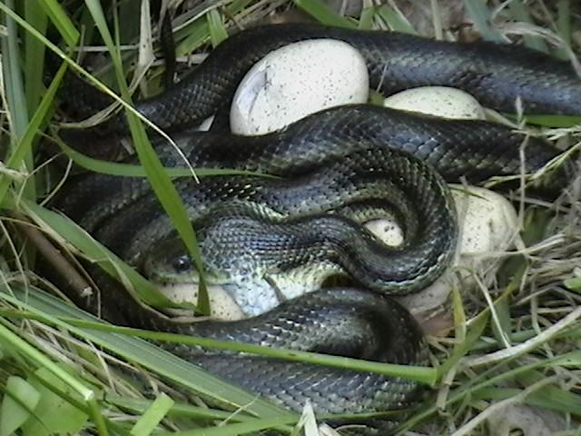 Chicken Snake 1